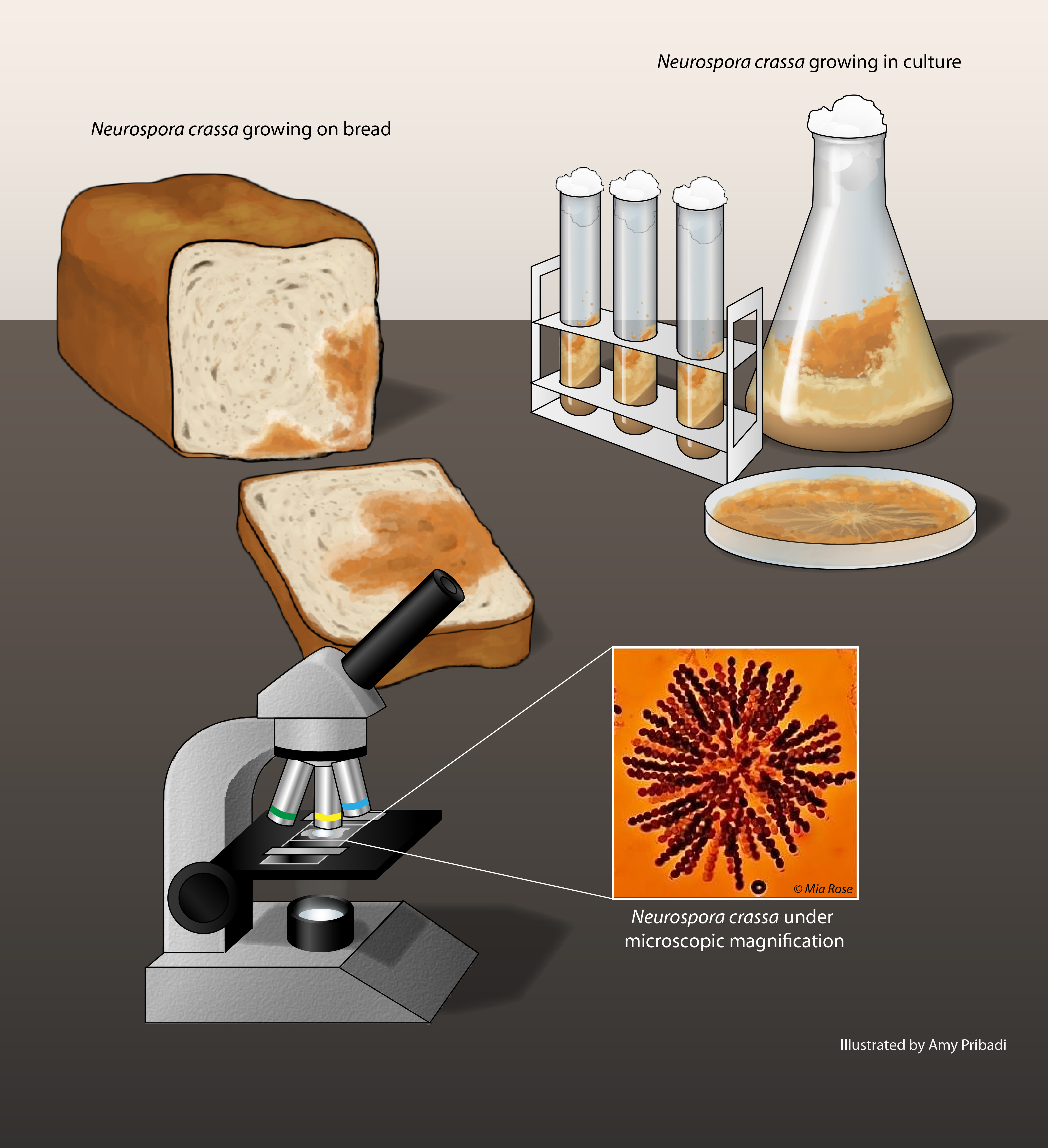 Object Is A Digital Image It Displays A Laboratory Workbench On It Is A Loaf Of Bread With Bread Mold Growing On It There Is Also A Set Of Beakers